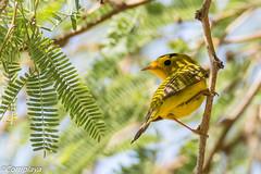 Reinita de Wilson, Wilson's Warbler (Cardellina pusilla) (Corriplaya) Tags: wilsonwarbler aves california reinitadewilson cardellinapusilla corriplaya birds