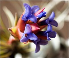 (2693) Tillandsia neglecta (Air plant) (QuimG) Tags: tillandsias macro natura nature naturaleza flors flowers flores quimg quimgranell joaquimgranell