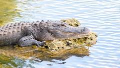 Alligator (2) (boisvertvert1) Tags: alligator réservenationaledebigcypresseverglades evergladesnationalpark michelboisvert 2018 floride faune florida floridabirds wildlife canon canoneos70d canon70d