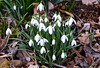 Snowdrops (rustyruth1959) Tags: nikon nikond5600 tamron16300mm uk england yorkshire calderdale ripponden snowdrops flowers whitefowers springflowers white leaf deadleaves green stems flowerheads petals nature growing cluster flowercluster plant