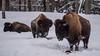 Bison : February 11, 2018 (jpeltzer) Tags: ottawa montebello quebec parcomega winter bison