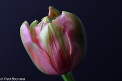 "In our livingroom, another nice ""French Tulip"" (Fred / Canon 70D) Tags: jinbei doubletulip dubbeletulp frenchtulip fransetulp jinbeiwhiteumbrella jinbeidiffusionjumboumbrella falconeyesskk2150d falconeyes ef100mmf28lmacroisusm canon70d canoneos canon eefde closeup spring spring2018"