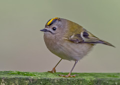 DSC5080  Goldcrest... (jefflack Wildlife&Nature) Tags: goldcrest goldcrests birds avian animal animals wildlife wildbirds wetlands woodlands warbler warblers gardenbirds glades heathland hedgerows countryside copse songbirds moorland marshland meadows nature