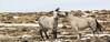 Scared Hair (chad.hanson) Tags: mustangs wildhorses wyoming wildlife greenmountainhma