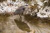 Heron shivering in the snow (Steve M Photography) Tags: heron bird crane freshwater coastal water beak nature wildlife waterreflections