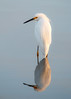 Snowy Reflection (Bill McBride Photography) Tags: egrettathula snowyegret snowy egret bird avian nature wildlife fl florida melbourne richgrissommemorial wetlands viera january 2018 reflection canon eos 70d ef100400l