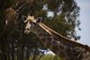 IMG_6991a (Ben Aird) Tags: cape town africa nature wine zebra giraffe springbok bontebok eland grapes duck bokaap seal vineyard vine shiraz remhoogte vergenoed lizard architechture