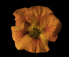 Orange And Yellow Nasturtium (Bill Gracey 18 Million Views) Tags: nasturtium tropaeolum fleur flower flor color colorful colors colour nature naturalbeauty offcameraflash softbox yongnuo yongnuorf603n macrolens tabletopphotography