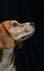 Febee (Guillaume7762) Tags: beagle chien chasse dog tricolore portrait animalier beaute museau