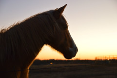 Looking into sunset (radargeek) Tags: mustang horse oklahoma ok 2017 january sunset
