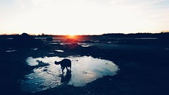 Playing with ice ❄ (Jos Mecklenfeld) Tags: totoro dutchshepherddog dutchshepherd shepherddog shepherd dog sunrise landscape ice winter hollandseherdershond hollandseherder herdershond herder zonsopkomst hond sonyxperiaz5 xperia