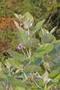 CAE008911a (jerryoldenettel) Tags: 180119 2018 apocynaceae asterids calotropis calotropisprocera fl gentianales leeco manateepark monocots sodomapple wildflower apple appleofsodom flower kingscrown rubberbush rubbertree stabragh