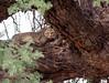 Resting on a camelthorn tree (jaffles) Tags: southafrica südafrika kalahari kgalagaditransfrontierpark ktp olympus safari wildlife natur nature explore inexplore