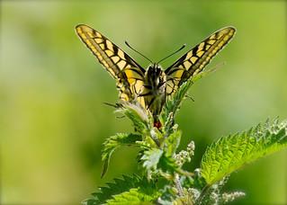Swallowtail DSC_3648