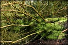 The Thing (Herr Nergal) Tags: fz1000 lumix panasonic tree baum strange eerie creepy nature branches äste grün green natur seltsam komisch creature tentacles tentakel saarland 7dwf