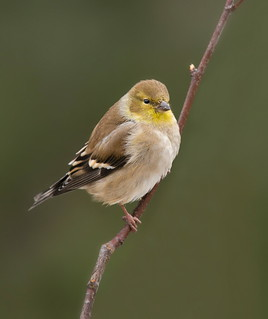 American Goldfinch male winter plumage