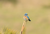 DSC_2769.jpg Western Bluebird, UCSC Great Meadow (ldjaffe) Tags: ucscgreatmeadow westernbluebird
