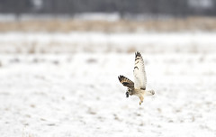 Short-eared owl with vole (Jim Cumming) Tags: shortearedowl owl vole meal hunting canada wildlife nature winter snow prey birdsofprey