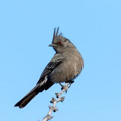 Phainopepla (Ed Sivon) Tags: america canon nature lasvegas wildlife wild western southwest desert clarkcounty clark vegas bird nevada nevadadesert park