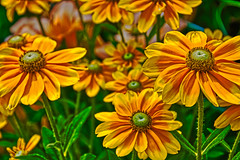 Yellow Flowers (bobrizz1) Tags: flowers yellowflower 1001nights 1001nightsmagiccity ngc npc contactgroups greatshotss rudbeckiahirta'irisheyes' gloriosadaisy thebestofmimamorsgroups