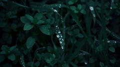 Dewdrops (andreashoe) Tags: rugiada dew dewdrop dewdrops pioggia rain rainyday grass green erba prato meadow bush siepe cespuglio aiuola leaf leaves foglie macro macrophotography water waterdrop waterdrops waterdroplets droplets winter italia italy