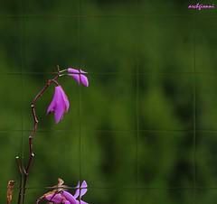 pink petals (archgionni) Tags: fiori flowers rosa pink petali petals natura nature artwork sfondo backgroud verde green