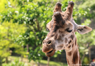 Northern giraffe portrait (press L for better details)