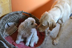 First sniff (Zsofia Nagy) Tags: kutya dog puppy zsemle bojtos pet animals animal 7daysofshooting week29 serene focusfriday friends