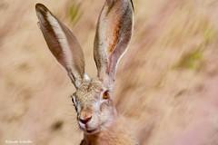 I'm all ears (Photosuze) Tags: portrait rabbit blacktailedjackrabbit jackrabbit animals nature wildlife lagomorph mammals faces ears