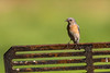Western Bluebird perched on a barbecue (donjd2) Tags: westernbluebird edlevincountypark milpitas california unitedstates us