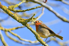 blue and green should never be seen without a robin in between (Paul Wrights Reserved) Tags: moos bluesky blue robin bird birding birds birdphotography birdwatching perched colour cute nature animal detail