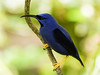 Purple Honeycreeper, Asa Wright, Trinidad (annkelliott) Tags: trinidad island caribbean westindies asawrightnaturecentre nature wildlife ornithology avian bird purplehoneycreeper cyanerpescaeruleus genuscyanerpes tanagerfamily purpleblue adult male perched branch sideview bokeh outdoor 19march2017 fz200 fz2004 panasonic lumix annkelliott anneelliott ©anneelliott2017 ©allrightsreserved beautifulexpression