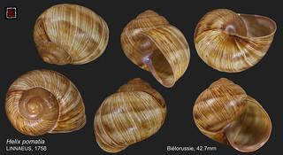 helix pomatia1 bielorussie 42mm7