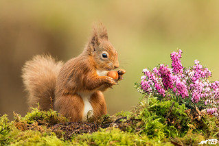 Red Squirrel amidst heather