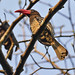 Red-billed Dwarf Hornbill Lophoceros camurus
