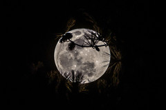 Super blue moon, through the pines - 2018-01-31_04 (Paul and Nalva) Tags: nx500 samsungnx500 sigma28300mmf3563 moon eol2018 bestof2018 choiceshot2018