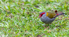 _DSC3260.jpg (David Hamments) Tags: highiso terrigal redbrowedfiretail bird somersbyfalls finch austraila fantasticnature