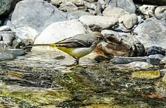 Bergeronette des ruisseaux 2017-09  (3) (Ezzo33) Tags: france gironde nouvelleaquitaine bordeaux ezzo33 nammour ezzat sony rx10m3 parc jardin oiseau oiseaux bird birds pyrénéesatlantiques bergeronette ruisseaux béon ossau explore