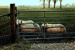 Kiss That Fence (Alfred Grupstra) Tags: sheep farm agriculture livestock ruralscene animal pasture fence nature grass grazing outdoors mammal meadow field farmanimals flockofsheep nonurbanscene animalsandpets herd