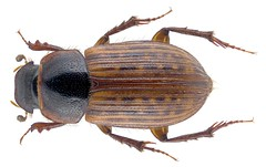 Euheptaulacus atlantis (Peyerimhoff, 1925) (urjsa) Tags: coleoptera käfer beetle insect scarabaeidae aphodiinae euheptaulacusatlantis afrika africa marokko morocco coleopteraus taxonomy:family=scarabaeidae taxonomy:order=coleoptera kaefer euheptaulacus atlantis taxonomy:genus=euheptaulacus taxonomy:species=atlantis taxonomy:binomial=euheptaulacusatlantis