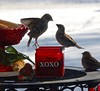 Viewed on Global TV - February 14, 2018 (Jeannette Greaves) Tags: birds seed xoxo winter red lover quarrel dispute 2018 cold global tv facebook manitobasegment jspubpic