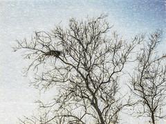 Nested (p) (davidseibold) Tags: america benaroad birdnests california jfflickr kerncounty nature painting photosbydavid plant postedonflickr postedonsmugmug tree unitedstates usa