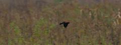 Dixon_JB_397_3832 (Joanne Bouknight) Tags: bunkhouse dixonwaterfowlrefuge illinois mist morning rain redwingedblackbird storm thewetlandsinstitute yard