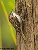 Brown Creeper (orencobirder) Tags: smallbirds flickrexport nuthatches birds