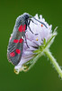 Zygaena filipendulae (Charaxes14) Tags: lepidoptera insect kelebek insecta arthropoda arthropod lighting shadow macro animal bokeh beautiful wonderful amazing fresh beauty nature fantastic summer burnet moth zygaenidae zygaenid zygaena biatorbágy red black drop morning filipendulae