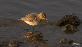 Dunlin (Calidris alpina), Winter Plummage