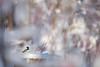 Entre les branches enneigées (Nicole Barge) Tags: mésangeàtêtenoire mésange blackcappedchickadee poecileatricapilla 2017 hiver winter forêt forest froid neige snow bokeh pdc dof lumière light