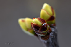 Als alle Knospen sprangen--- (seyf\ART) Tags: winter spring nature buds