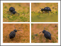 Sminthurinus niger (Ed Phillips 01) Tags: sminthuinus niger globular springtail collembola macro mpe staffordshire