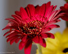 In Red (David S Wilson) Tags: cambridgeshire fujifilmxt10 ely england davidswilson uk fens gerbera handheld closeuplens xf1855f284r